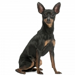 Πίντσερ - Miniature Pinscher